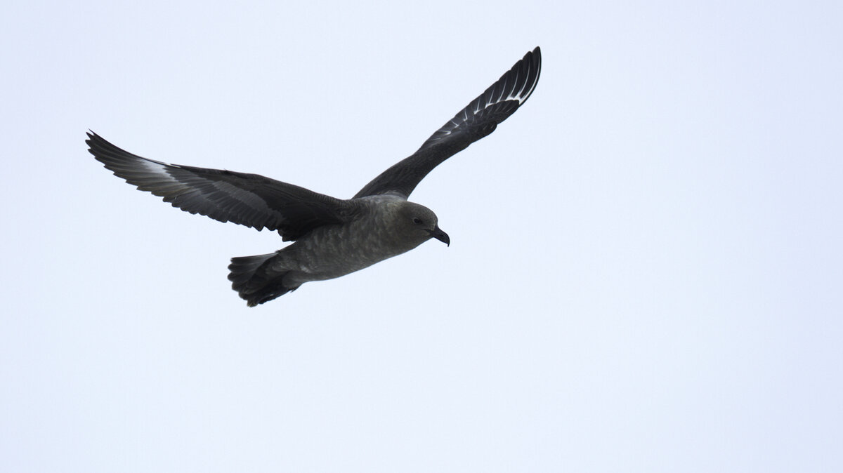 South Polar Skua flies over Emperor Penguin Colony