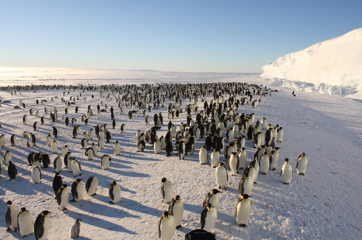 Emperor penguin colony from above