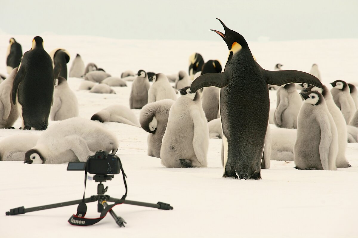 Adult emperor penguin flaps its wings and trumpets