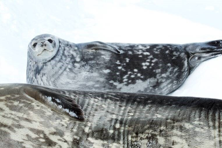 Weddell seals and other marine animals live along Antarctica's coast