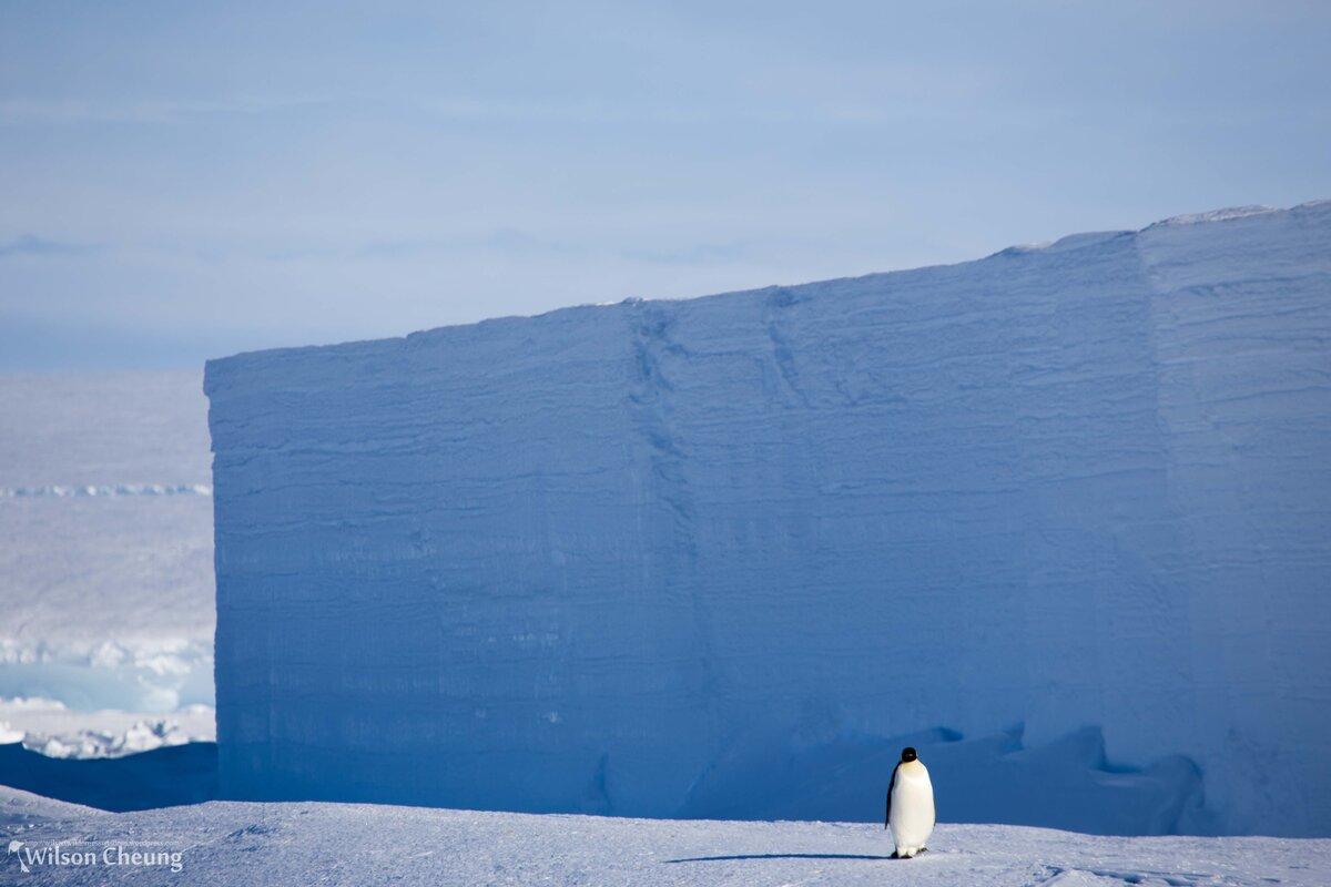 Penguin walks past an iceberg, frozen into the sea ice